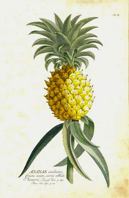 This plate is from Christopher Jacob Trew's Plantae Selectae (Nuremberg, 1750–73), which was illustrated by Georg Dionysius Ehret. (tinypineapple.com)